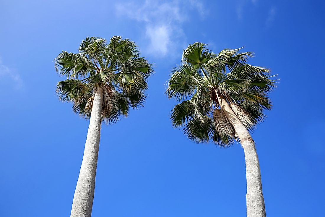 The cabbage palm is Florida's official state tree.