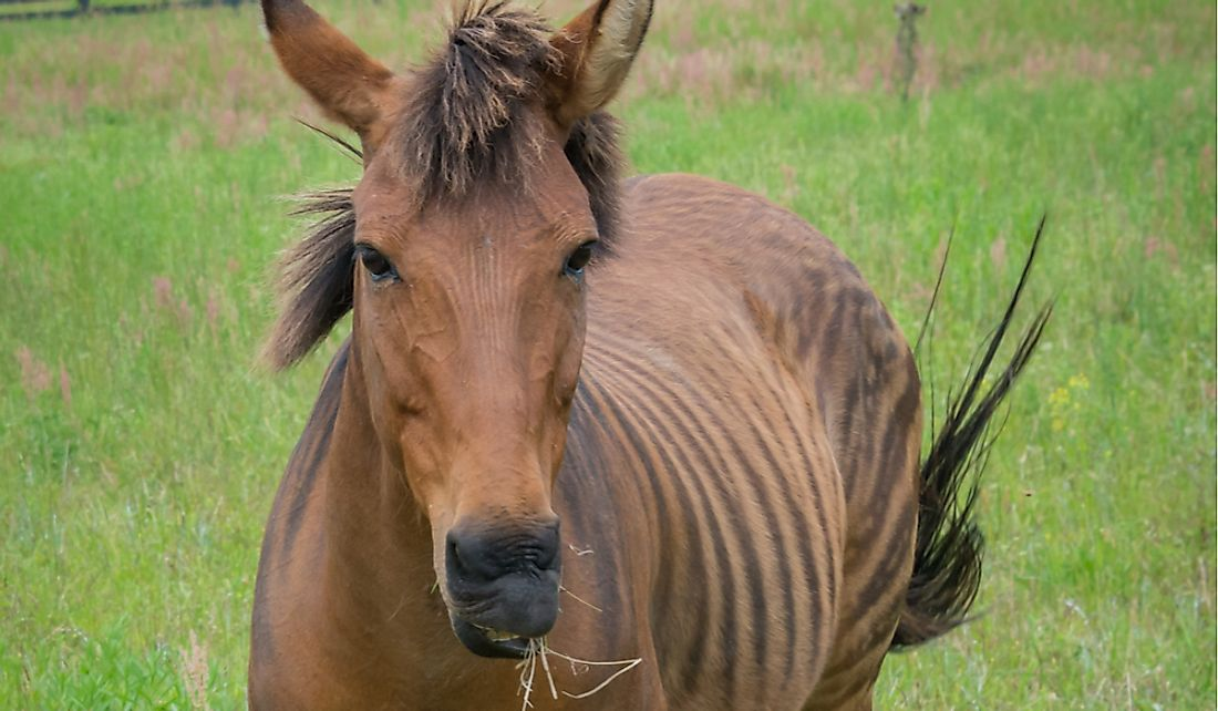 Zorses have the general appearance of a horse with the stripes of a zebra.