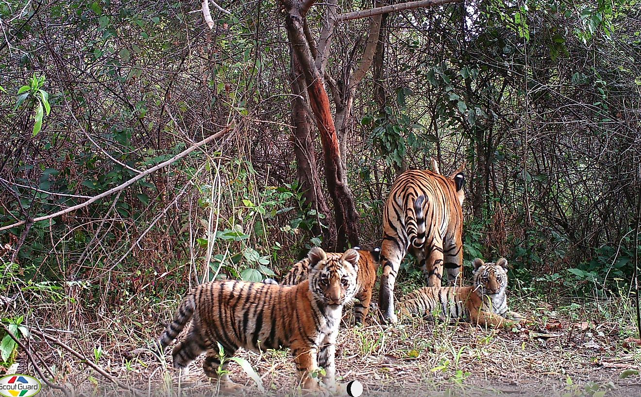 Tigress and cubs caught on camera trap as part of the WII-Panthera 13-year study in northern India's Rajaji National Park. Image credit: WII-UKFD (Uttarakhand Forest Department)