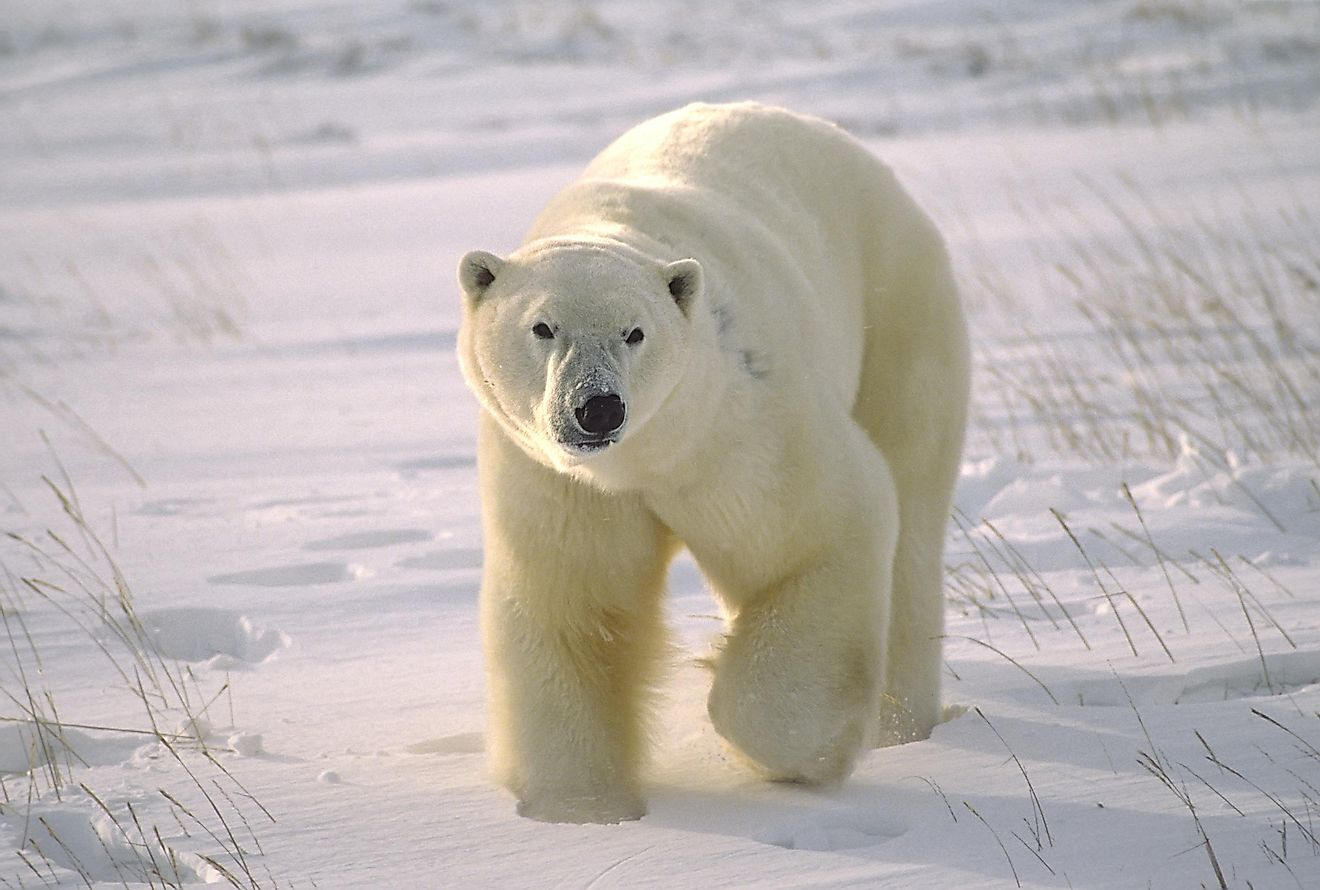 Large male polar bear on Arctic tundra. Image credit: outdoorsman/Shutterstock.com