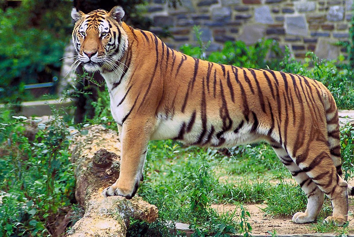 Both India and Bangladesh Share The Majestic Bengal Tiger As The National Animal