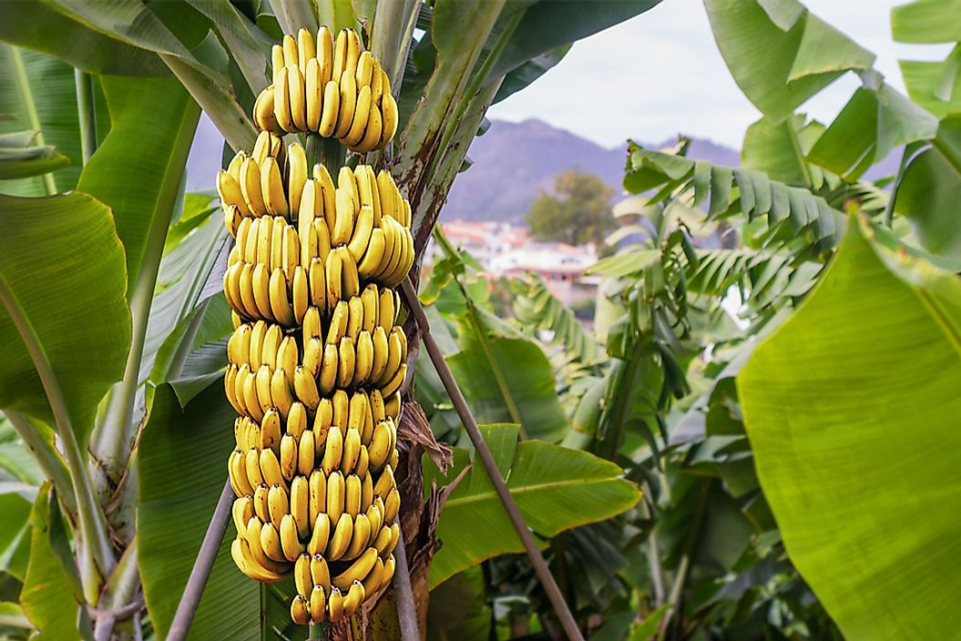 An example of the banana plant.