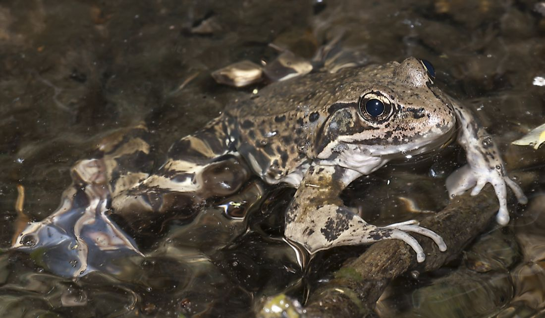 The California red-legged frog is found in 28 counties of California.
