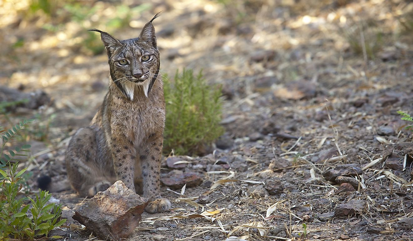Iberian lynx is one of the species found in Spain.