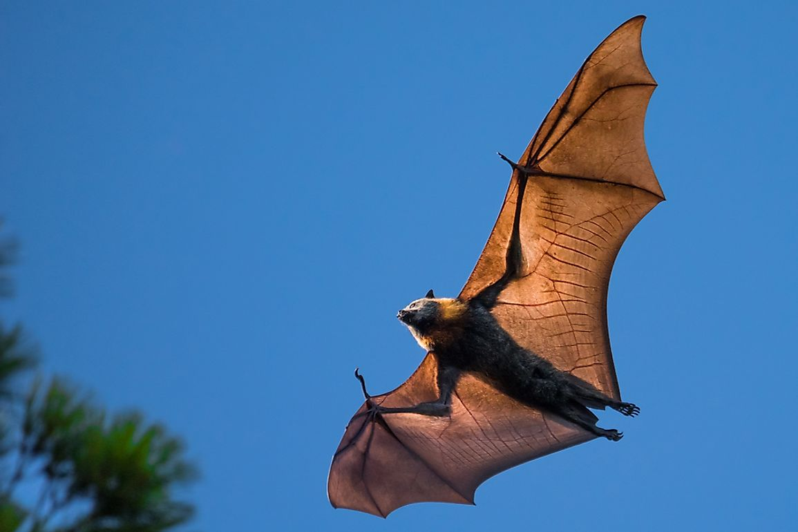 The Flying Fox was named for its small pointed ears and large eyes which resemblance that of a fox.