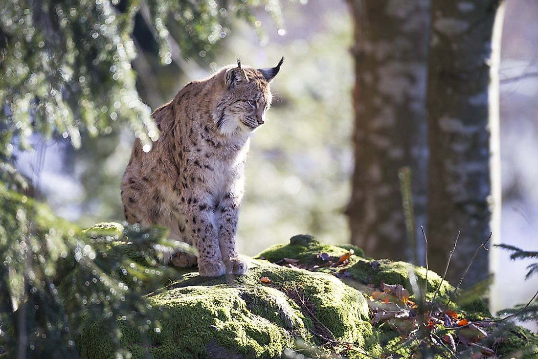 The Eurasian lynx prefers to live in rugged forested habitats.