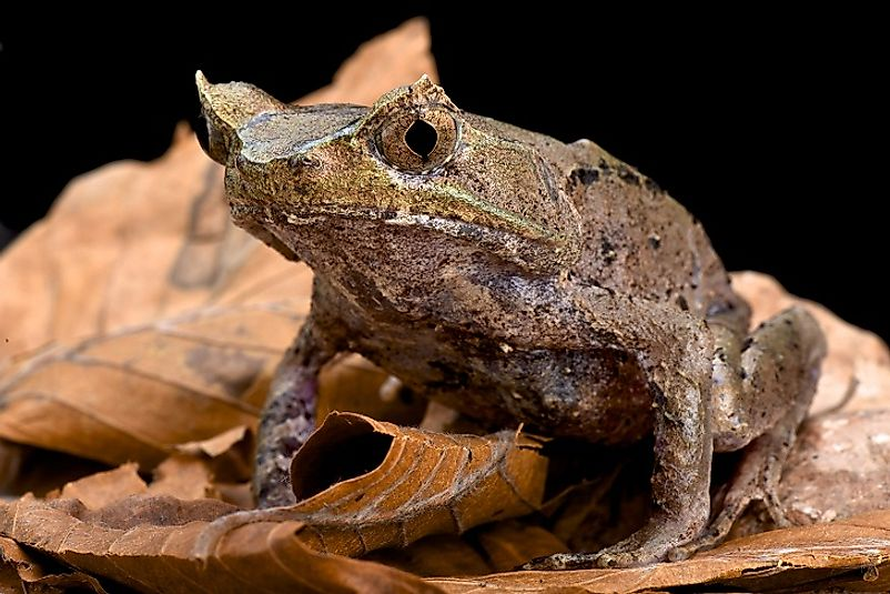 A Perak Horned Toad sitting upon leaves on the forest floor.