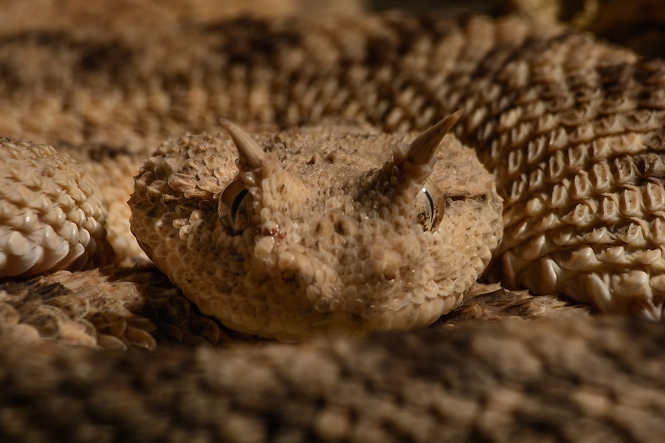 The sahara sand viper is a reptile that can be found in Mauritania.