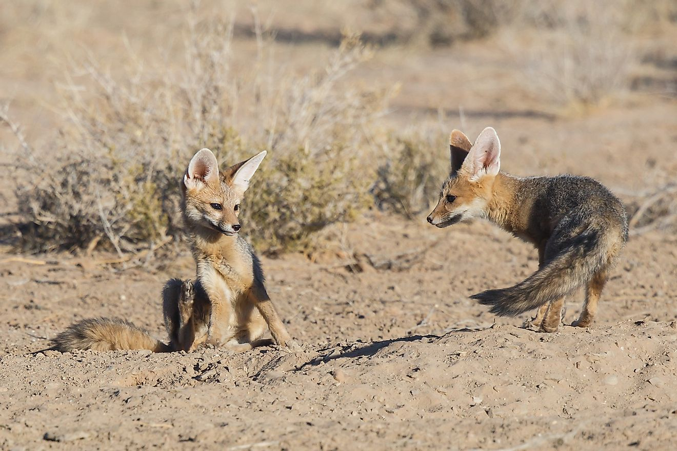 Cape Fox playing in the Kgalagadi Transfrontier Park in the Kalahari Desert in South Africa. Image credit: Henk Bogaard/Shutterstock.com