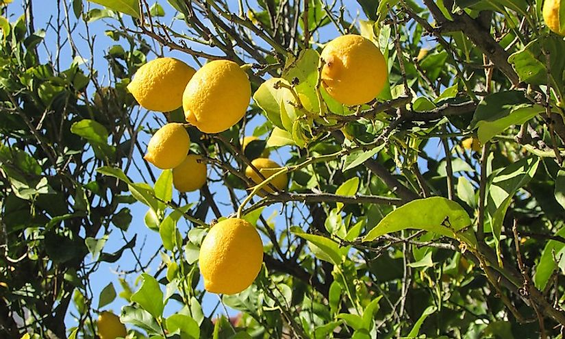 Lemons growing on a lemon tree.