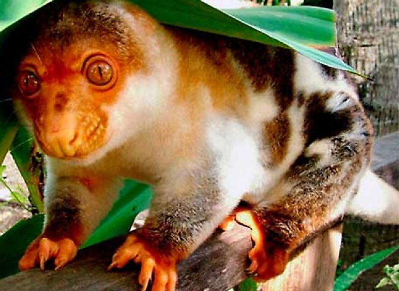 A Black-Spotted Cuscus.