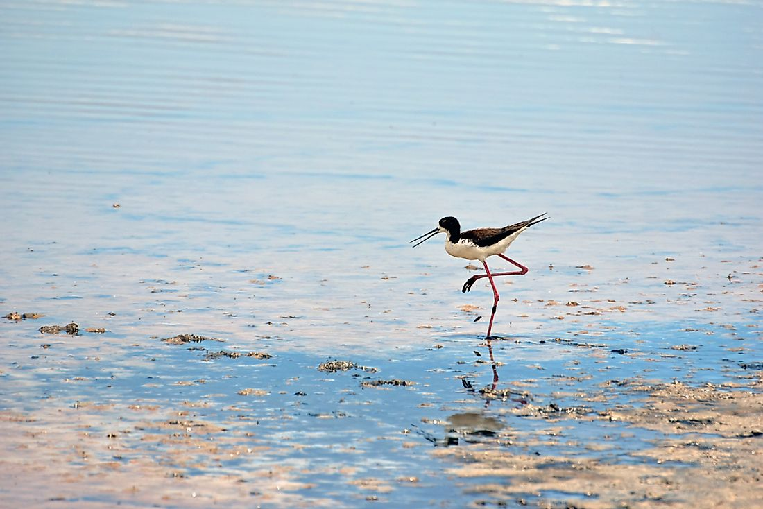 A Hawaiian black-necked stilt at the Kanaha Pond State Wildlife Sanctuary.