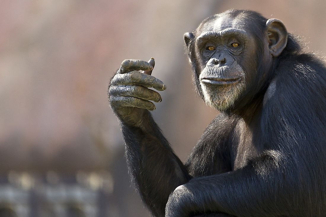 An adult chimpanzee.