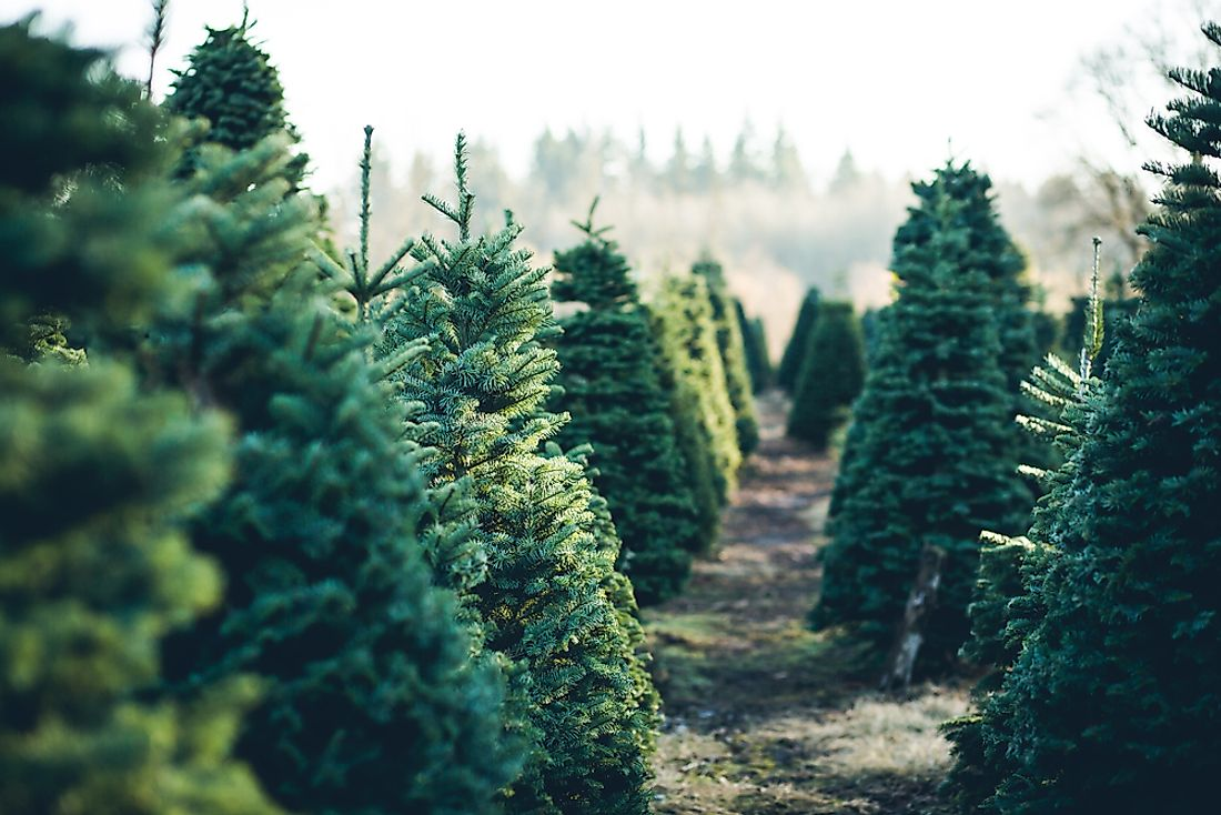 Various types of trees are decorated as Christmas Trees.