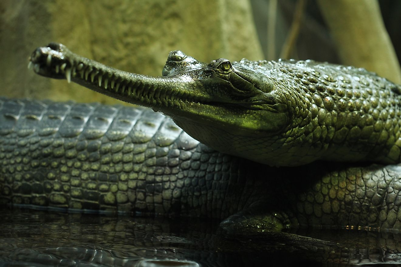 A gharial is a type of critically endangered crocodile found in Pakistan.