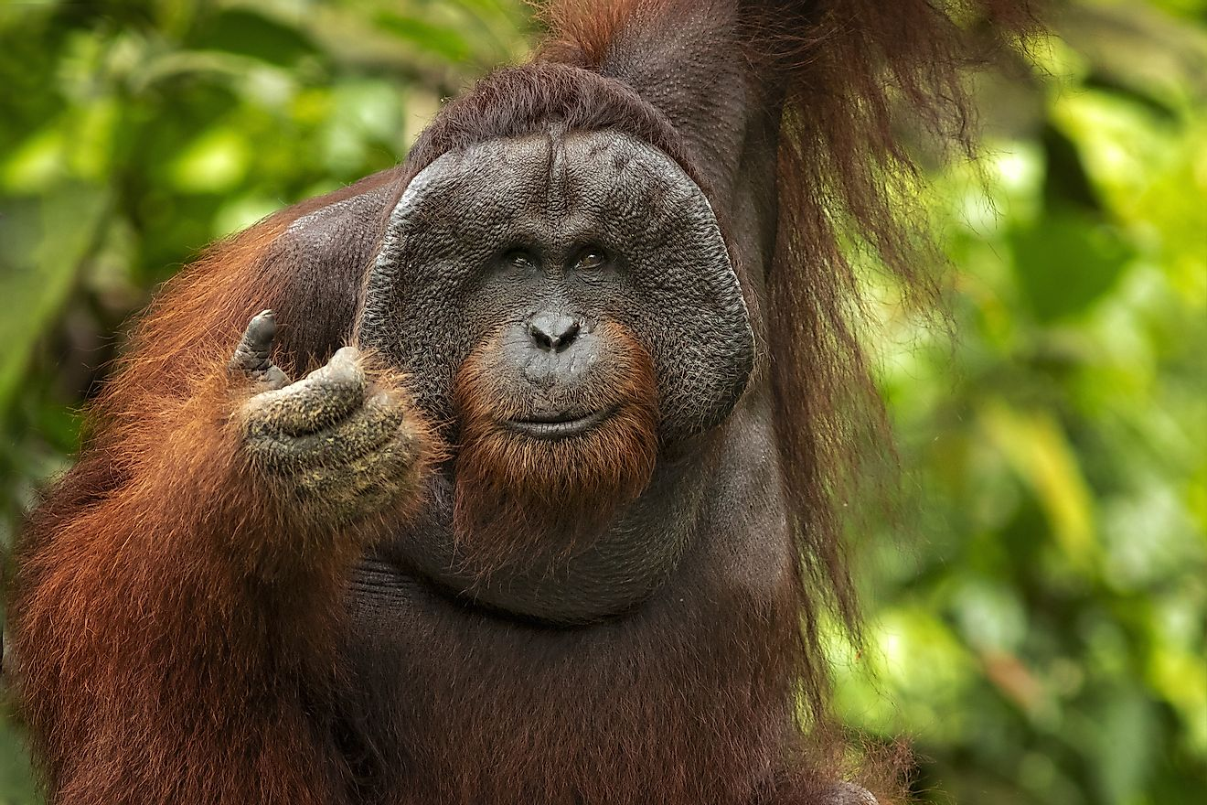Bornean orangutan is a species of orangutan native to the island of Borneo. Image credit: Milan Zygmunt/Shutterstock.com