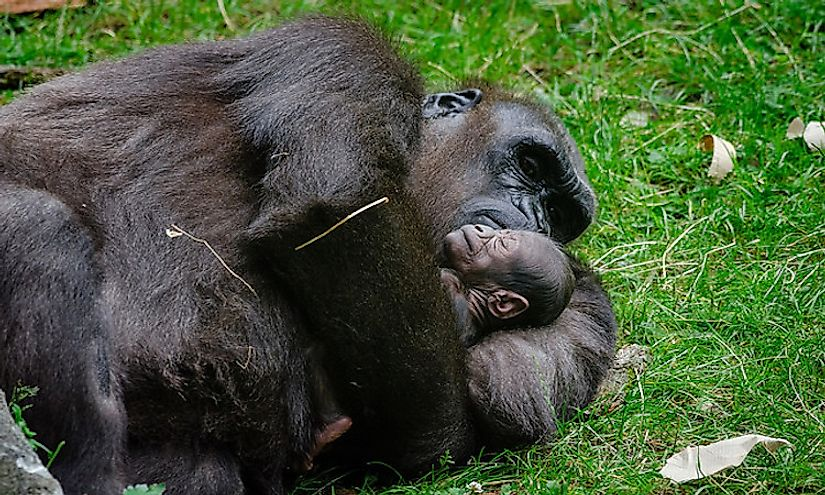 A mother gorilla cuddles her sleeping baby.