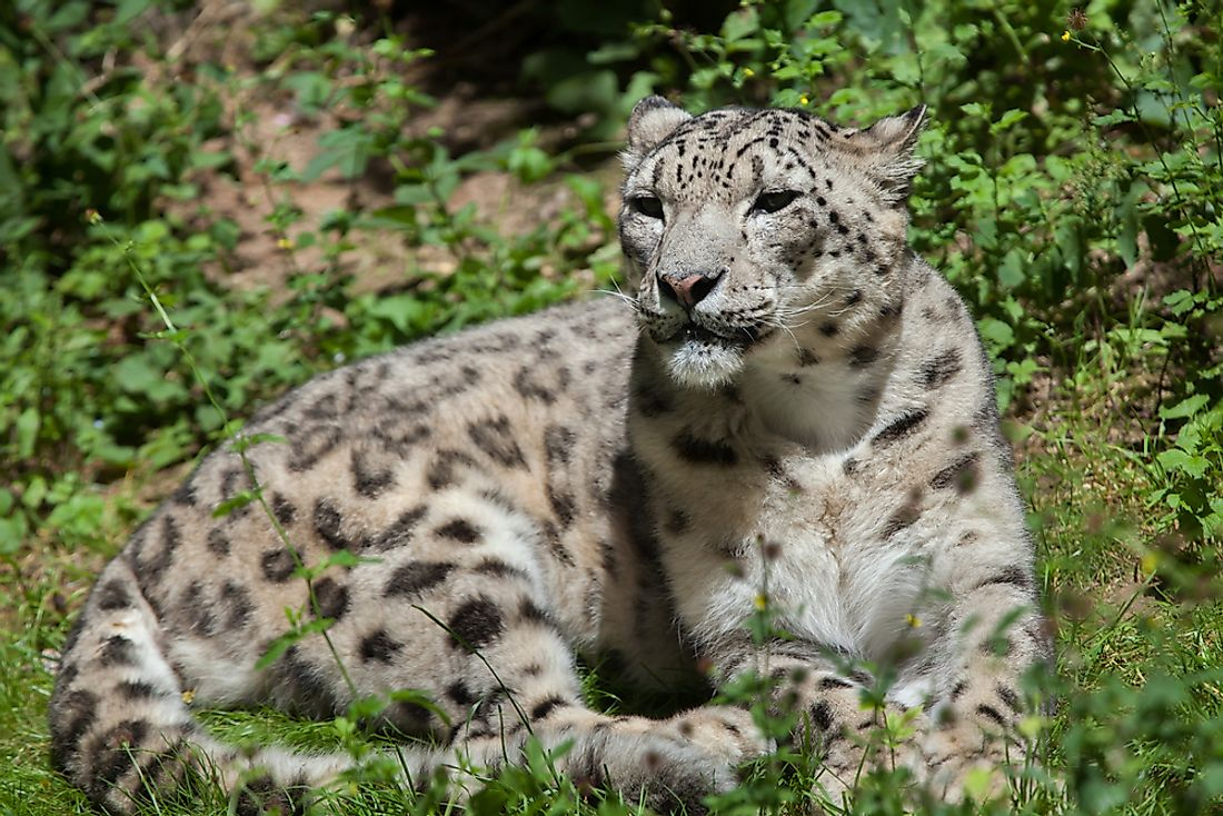 An endangered Snow Leopard in northern Pakistan.