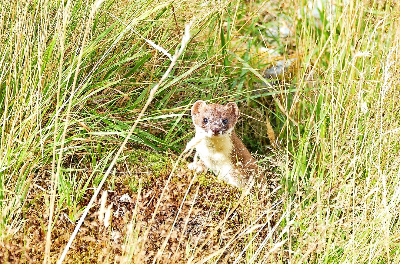 A curious wild Stoat on the Hooker Valley track, Mount Cook, New Zealand. Image credit: The Nomadic Pear/Shutterstock.com