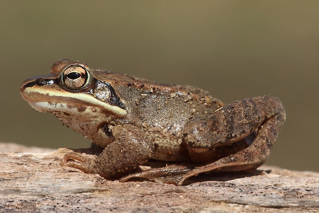 During winter, the wood frog (Rana sylvatica) can be easily mistaken for a dead animal.
