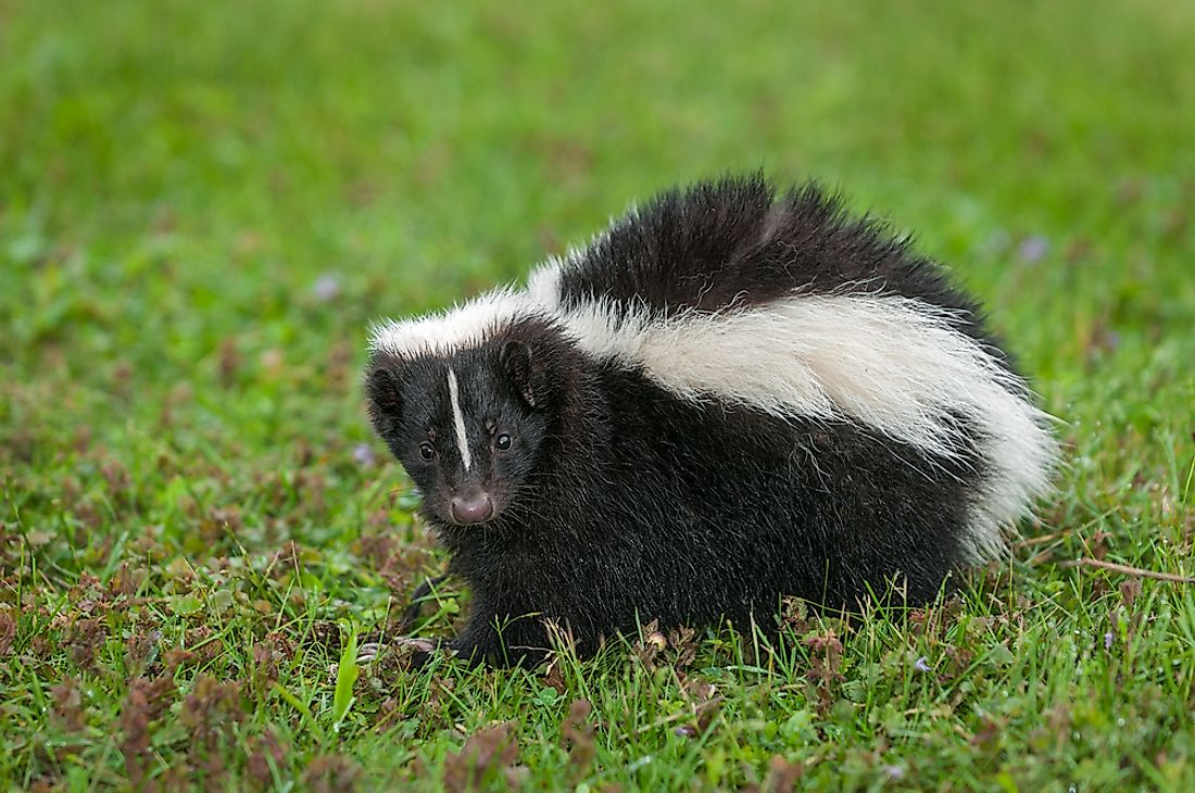 Being omnivorous creatures, skunks are not selective feeders, and thus feed on what is available.