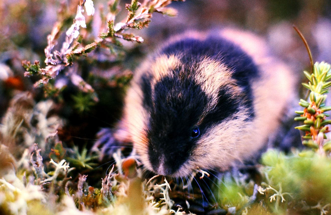 A Lemming feeds in the Swedish mountains.