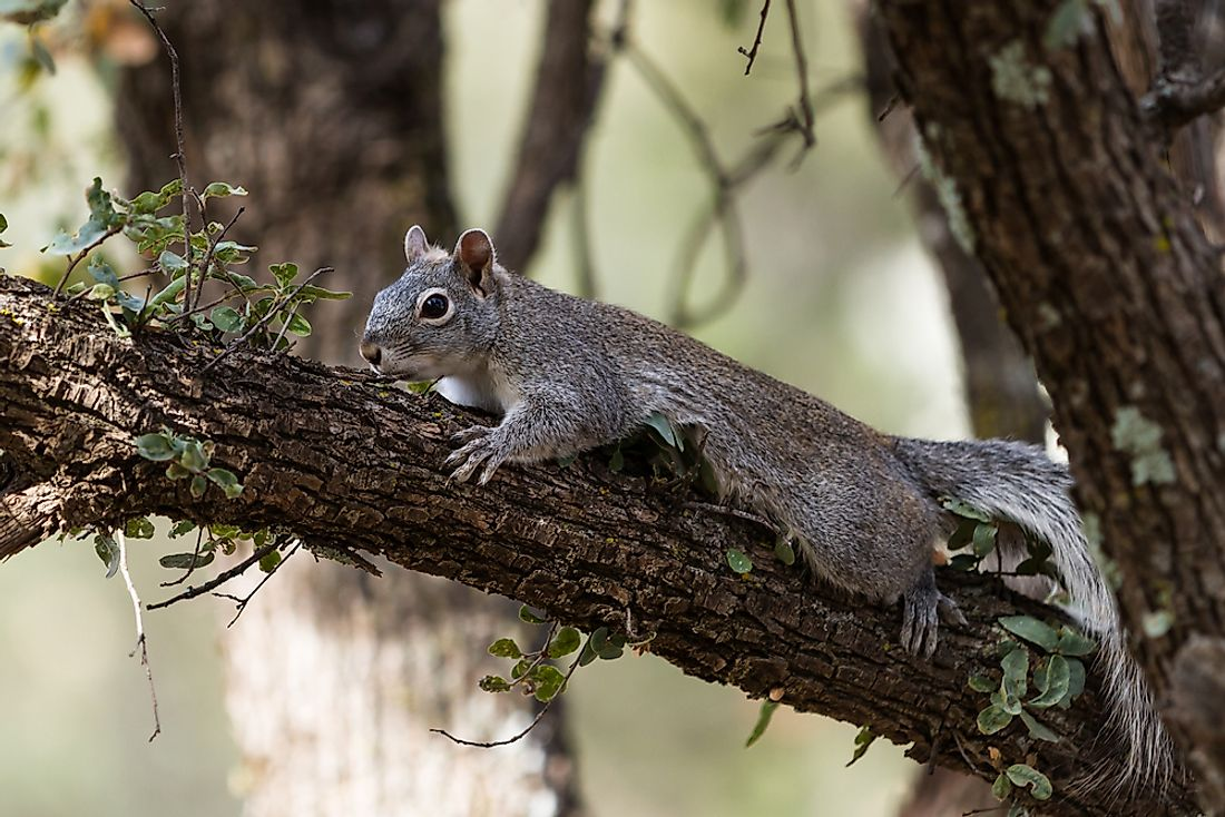 The western gray squirrel is known for its lengthy body size.