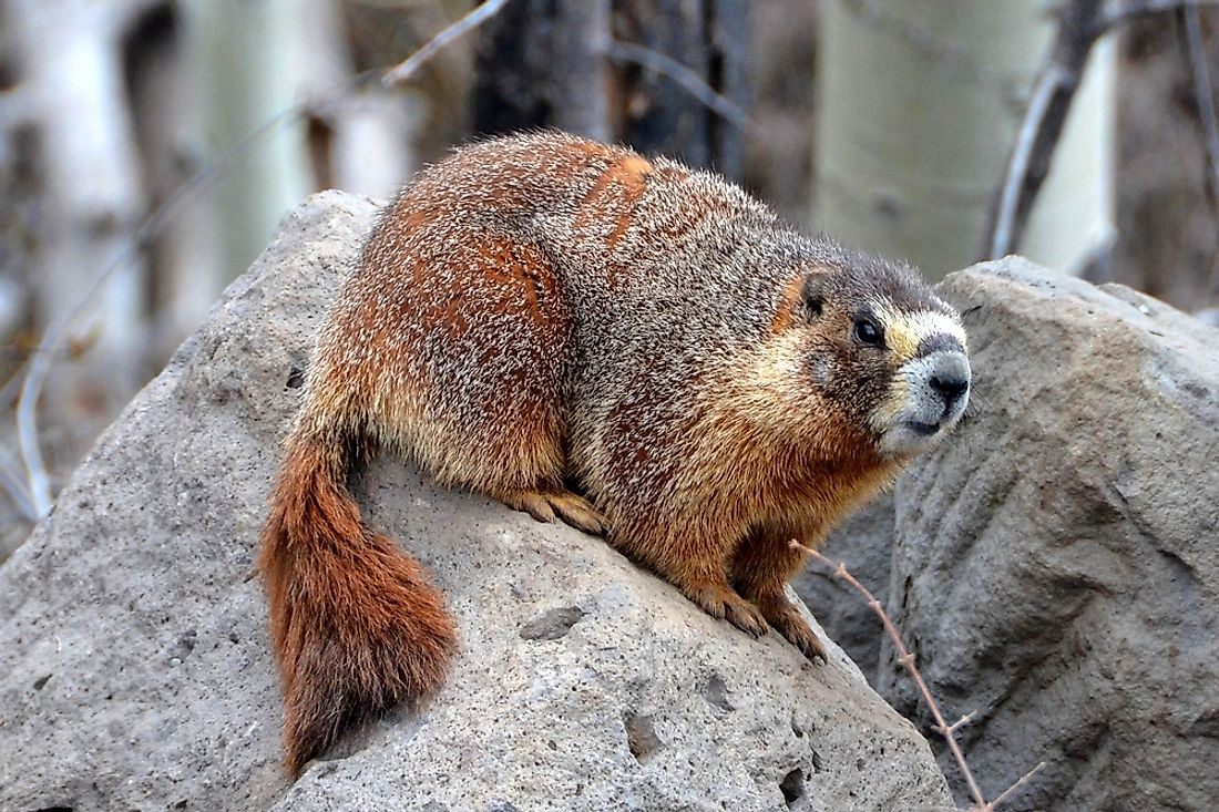The Vancouver Island marmot is an endangered species.