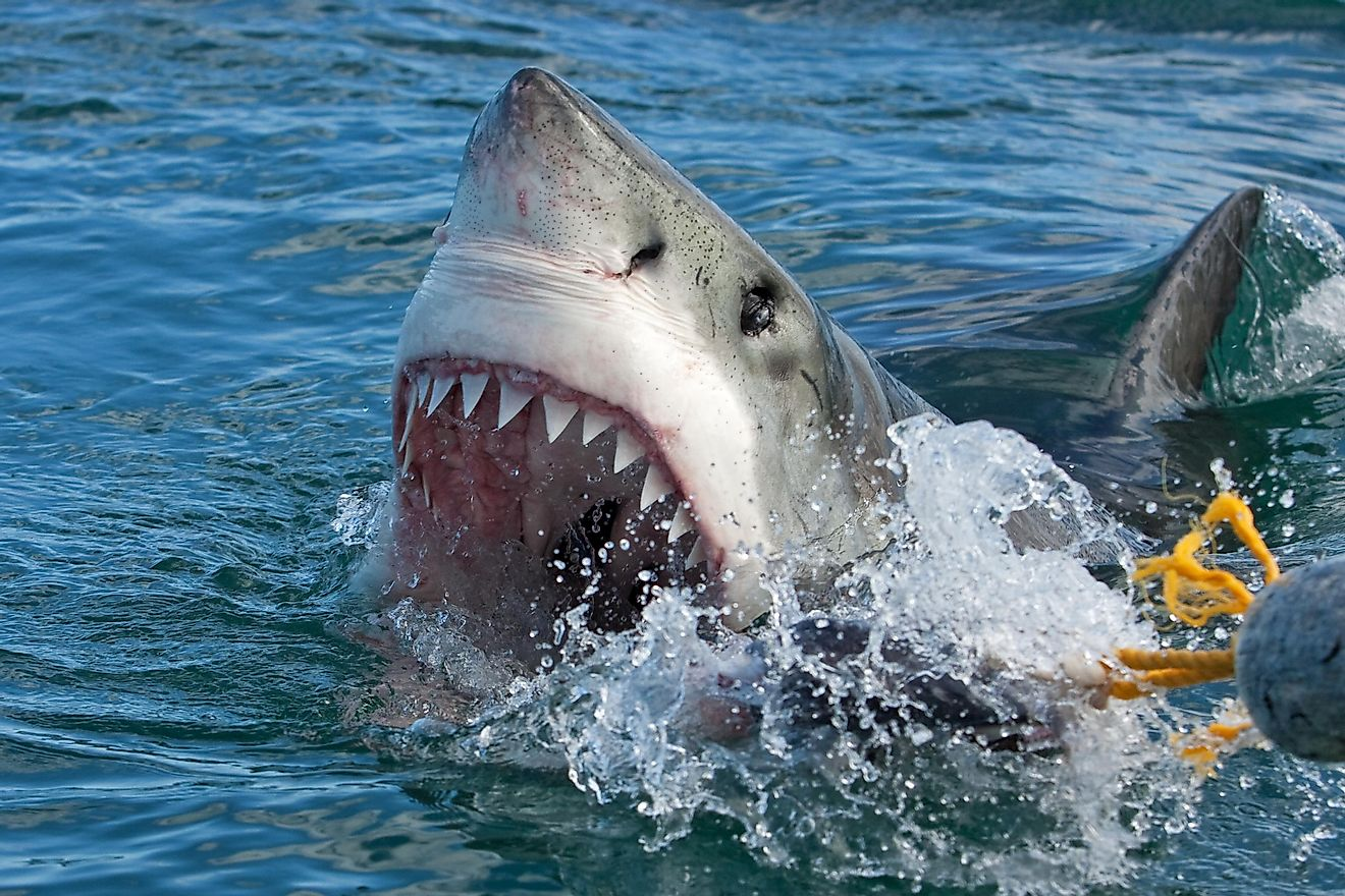 How many teeth are inside a shark's mouth depends from species to species.