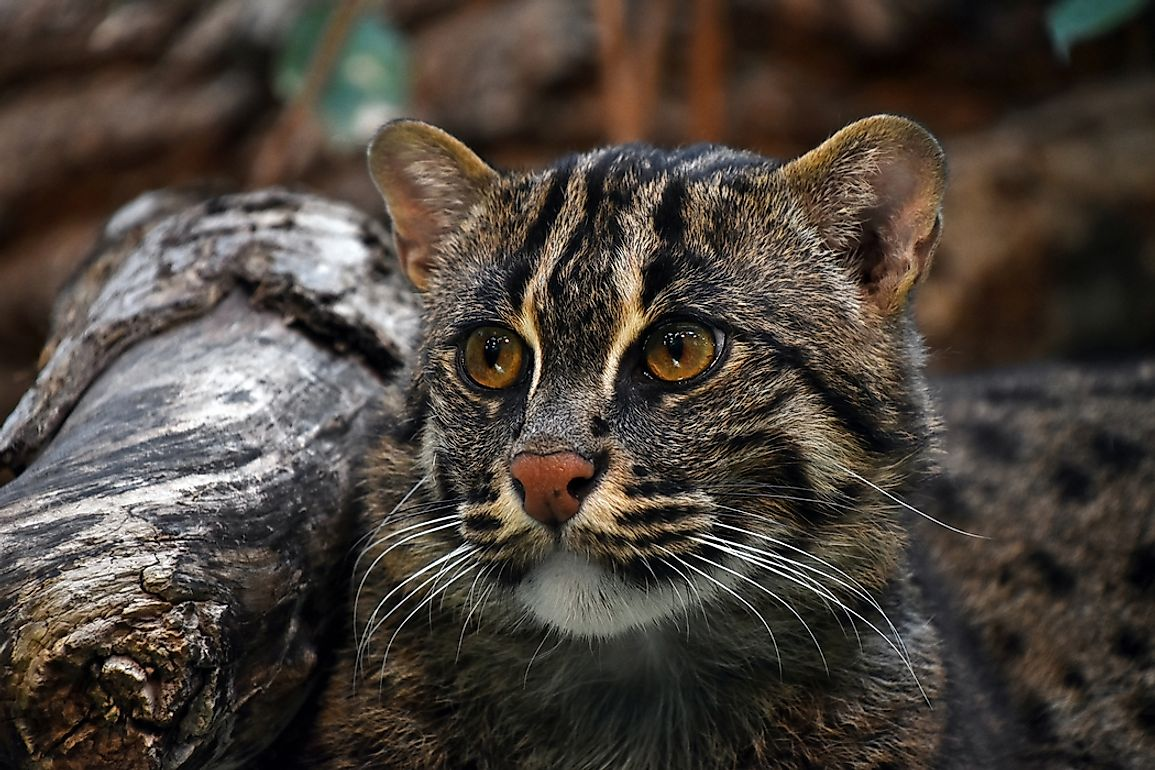 Although fishing cats resemble house cats, they possess some qualities that could be considered uncharacteristic of the common pet, such as a love for water and wetlands. Photo credit: shutterstock.com.
