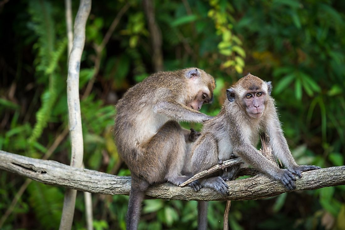 A pair of macaques grooming in the jungles of Borneo.