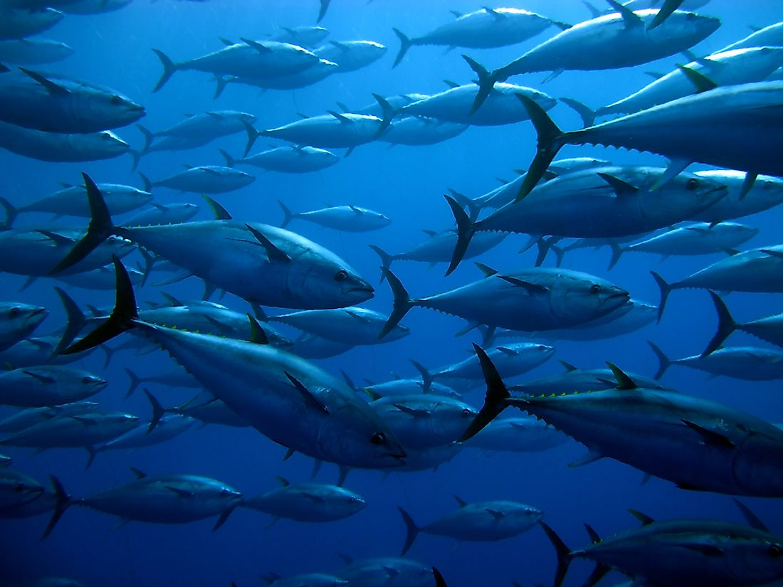 A majority of fish consumed and exported is tuna.