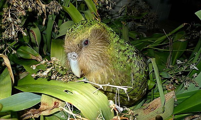 Sicocco, a famous adult male kakapo, a representative of one of the rarest species of birds on our planet.