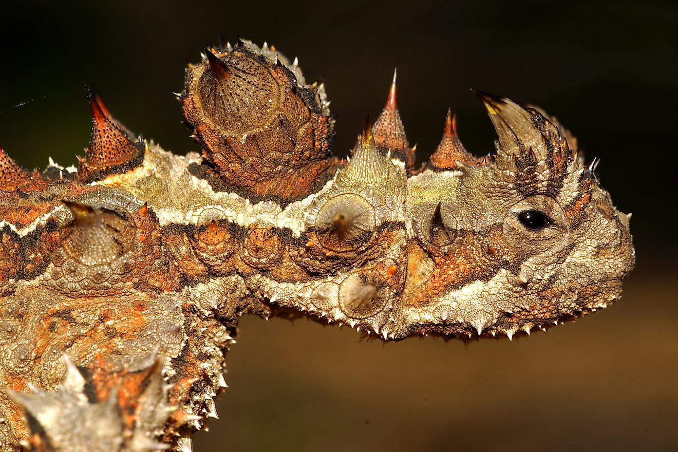 The thorny devil found in the Australian deserts store water in their layered scales and hence can go without water for long periods. Image credit: anjahennern/Shutterstock.com
