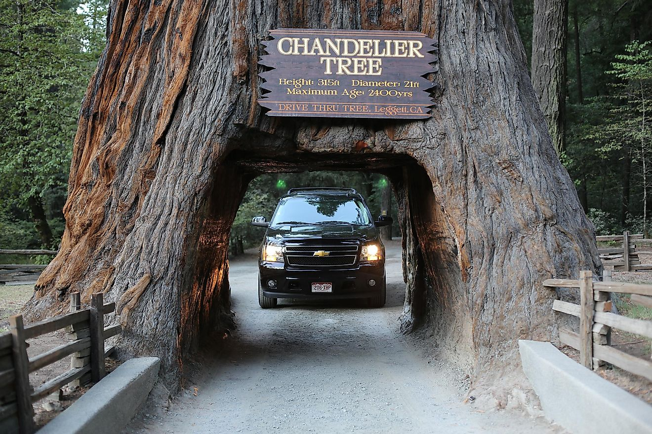 Chandelier Tree spans 16 feet. Editorial credit: Traveller70 / Shutterstock.com