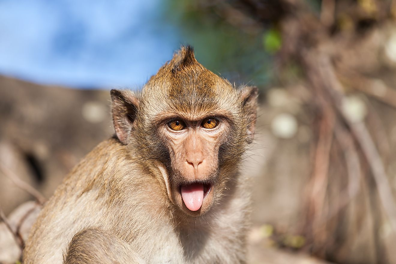 Facial expressions help Rhesus macaques communicate. At times, these gestures have hilarious results.