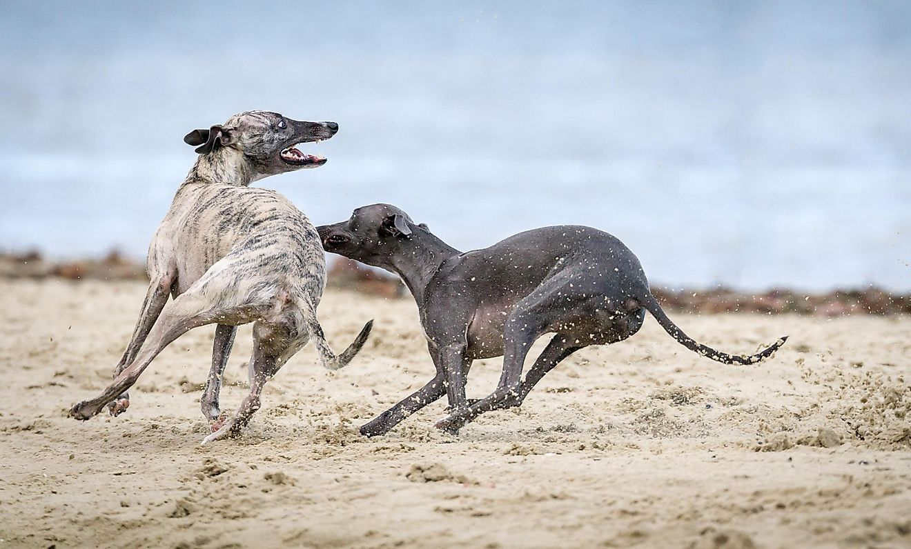 The Greyhound is the fastest dog breed. Photo by Mark Galer on Unsplash