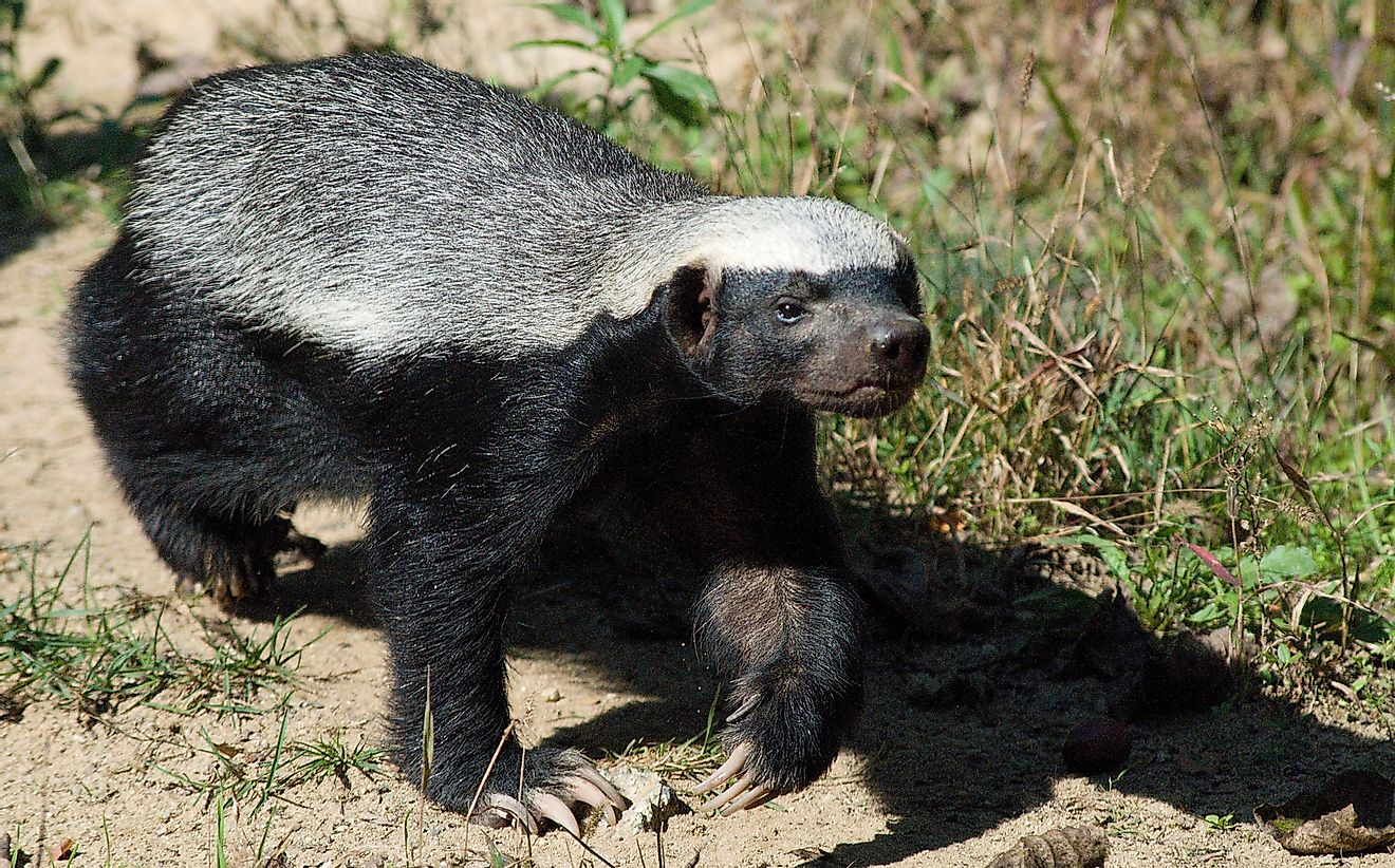 The honey badger is an example of an asymmetrical animal.