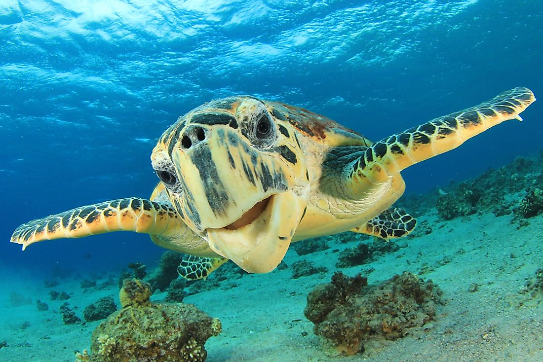 The hawksbill turtle is dangerously endangered.
