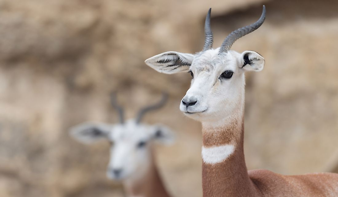 The Dama Gazelle is a critically endangered species.