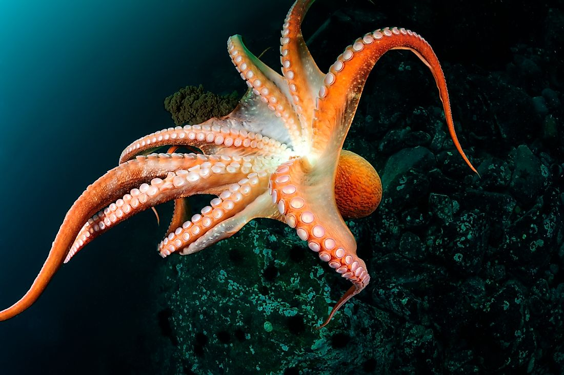 An octopus in the East Sea.