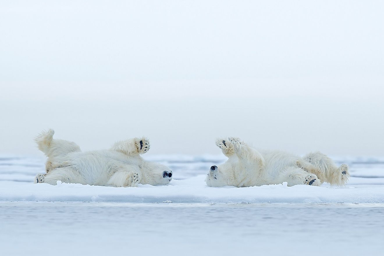 The Biggest Threats To Polar Bear Populations Today   WorldAtlas
