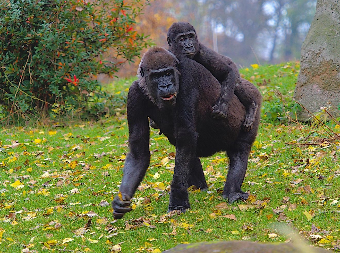 A gorilla walking with its offspring on the back.