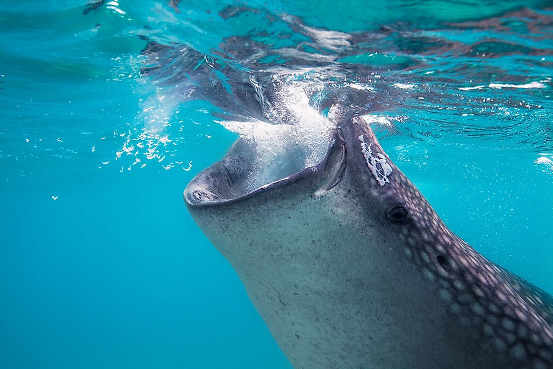 Whale Sharks are famous filter feeders.
