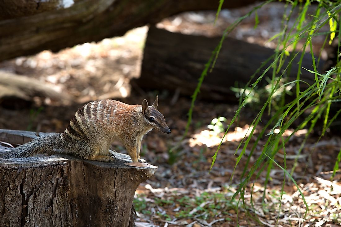 A numbat is an example of an animal whose name begins with the letter N.