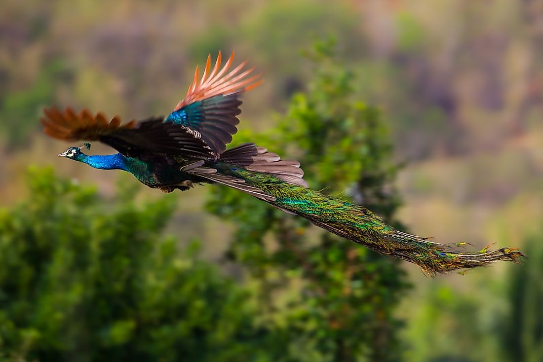 A peacock in flight.