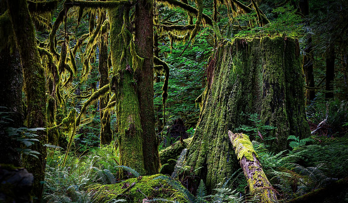 Old-growth forest.