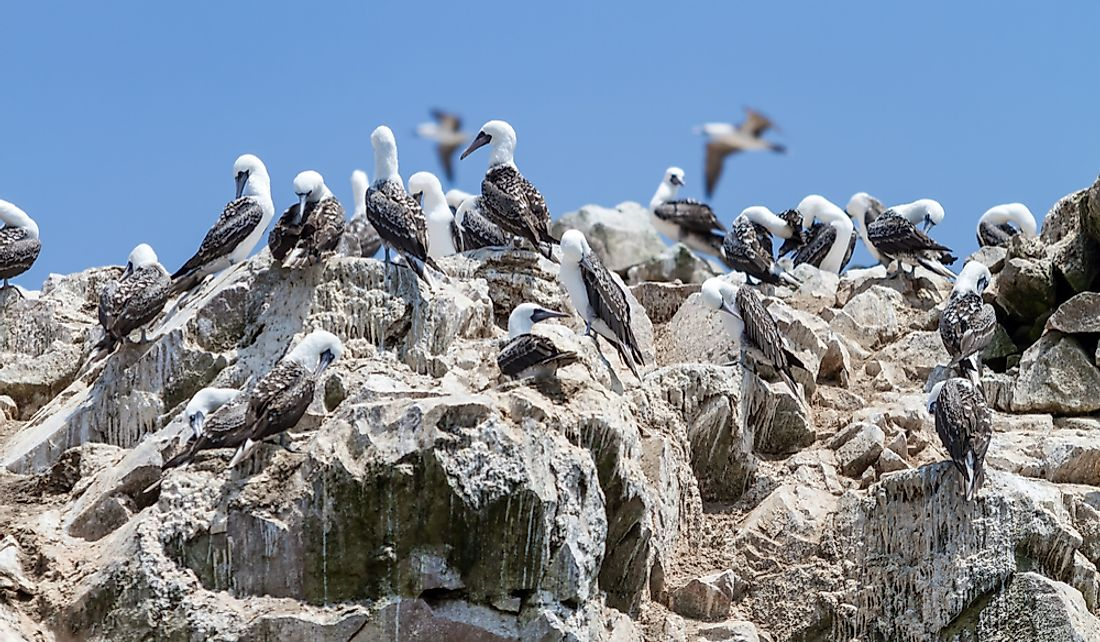 Peruvian Boobys on the guano covered rocks of the Ballestas Islands, Peru.