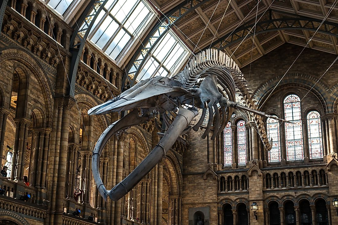 Skeleton of a blue whale on display at the Natural History Museum in London. Editorial credit: Jaroslaw Kilian / Shutterstock.com