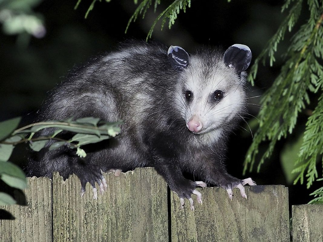 Nocturnal Virginia opossums are commonly seen pilfering through human trash and being struck by motor vehicles in the Southeast U.S.